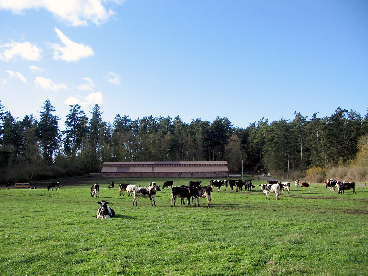 Cows on Central Whidbey