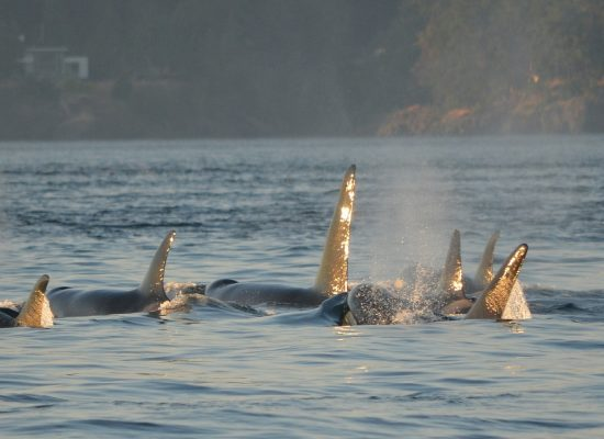Alarming new study shows orcas impacted by underwater jet noise