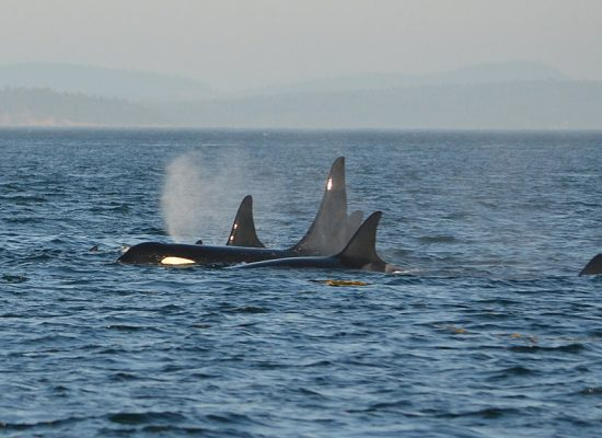 ESA Lawsuit to Save Our Whales